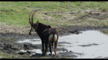 Sable At Waterhole