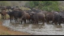 Cape Buffalo Herd At Waterhole