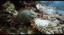 Crown Of Thorns Starfish Eating Coral Reef