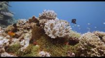 Fiji Shallow Reef And Anemone