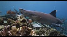Fiji Whitetip And Blacktip Sharks