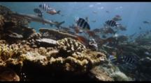 Fiji Whitetip And Blacktip Sharks