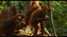 Group Of Orangutans Eating Bananas