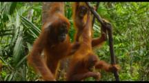Mother Orangutan And Two Babies In Trees