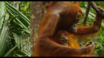 Mother Orangutan And Two Babies Feeding