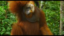 Male Orangutan Eating Bananas