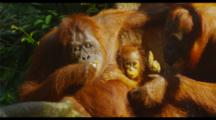 Orangutans Eating Bananas