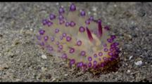 Crawling Nudibranch