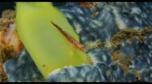 Goby On Tunicate