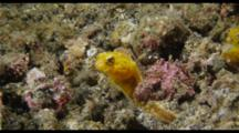 Yellow Jawfish