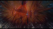 Juvenile Cardinalfish In Fire Urchin