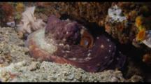 Common Reef Octopus