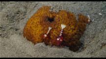 Shrimp On Sea Cucumber