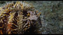 Zebra Crab And Urchin