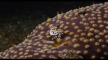 Crab On Sea Cucumber