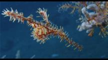 Ornate Ghost Pipefish