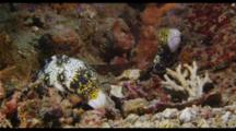 Snowflake Moray Pair
