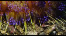 Squat Lobster On Fire Urchin