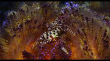 Coleman Shrimp On Fire Urchin