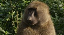 Edited Video Decor Sequence Of Various African Baboons