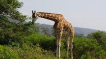 Edited Video Decor Sequence Of Various African Giraffes