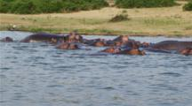 Edited Video Decor Sequence Of Various African Hippos
