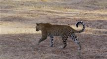 Edited Video Decor Sequence Of Various African Leopards