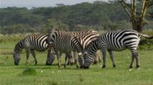 Edited Video Decor Sequence Of Various African Zebra