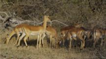 Edited Video Decor Sequence Of Various African Antelope