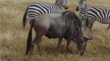 Edited Video Decor Sequence Of Various African Wildebeest
