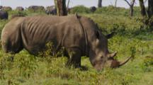 Edited Video Decor Sequence Of Various African Rhinos