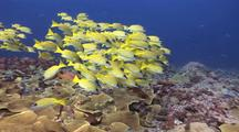 Through School Of Snappers To School Of Soldier Fish