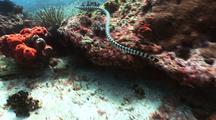 Sea Snake Swims