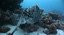 Marbled Ray Swims