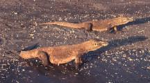 Komodo Dragons On Shore