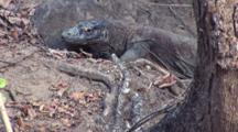 Komodo Dragon Walks Near Tree