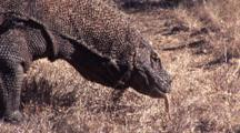Komodo Dragon Walks In Grass