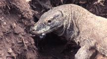 Komodo Dragon Digs Up And Swallows Megapod Eggs