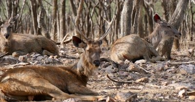 Indian Sambar Deer