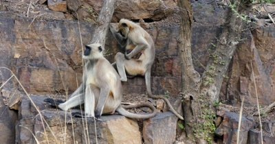 Indian Langur Monkey