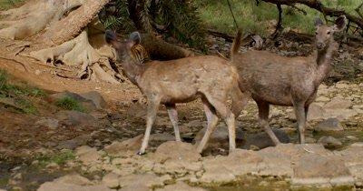 Indian Bengal Tiger and Sambar Deer