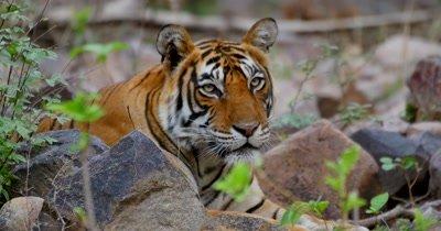 Indian Bengal Tiger