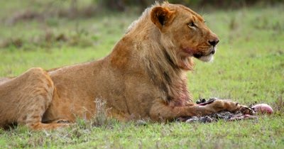 Young Male Lion feeding on Baboon