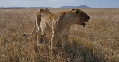 Female Lion resting after failed hunt