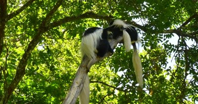 Black and White Colobus Monkey Family in tree