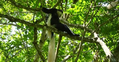 Black and White Colobus Monkey Pair in tree