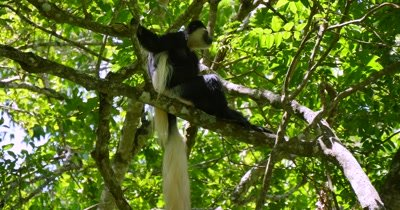 Black and White Colobus Monkey in tree
