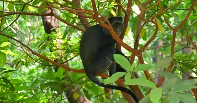 Blue Monkey in Tree