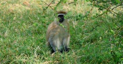Vervet Monkey on ground