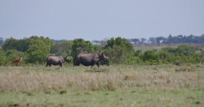 Rhinos Walking